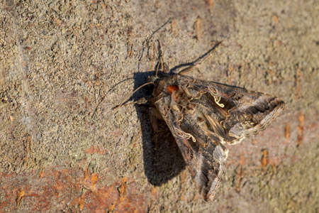 Silver Y moth - Autographa gamma, special hidden moth from European meadows and grasslands, Zlin, Czech Republic. Stock fotó