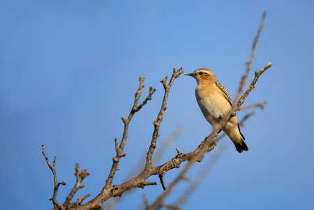 Northern Wheatear - Oenanthe oenanthe, beautiful perching bird from European meadows and grasslands, Pag island, Croatia.