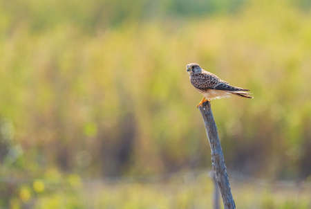 Eurasian Kestrel - Falco tinnunculus, beautiful raptor from European forest, Pag island, Croatia.