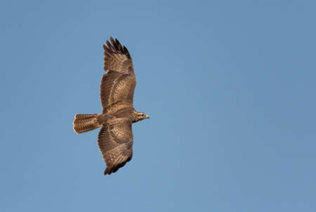 Buzzard - Buteo buteo, common bird of prey from European fields, meadows and woodlands, Pag island, Croatia.
