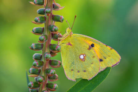 Clouded Yellow butterfly - Colias croceus, beautifull yellow butterfly from European meadows and grasslands, Pag island, Croatia.