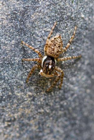 Jumping spider - Menemerus semilimbatus, beautiful small spider from European meadows and grasslands, Pag island, Croatia.