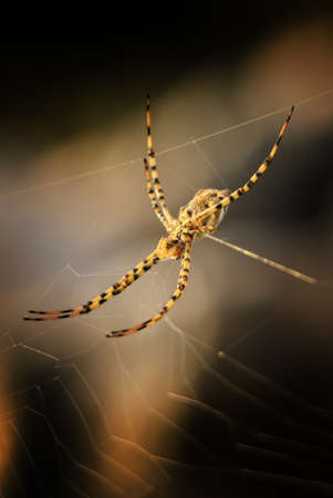 Orb-weaver spider - Argiope lobata, beautiful spider from European meadows and grasslands, Pag island, Croatia.