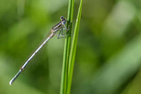 White-legged Damselfly - Platycnemis pennipes, beautiful dragonfly from European reeds, marshes and fresh waters, Morava river, Czech Republic.
