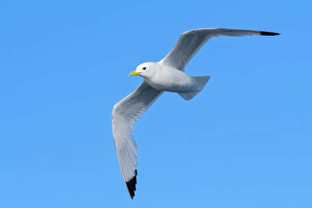 Black-legged Kittiwake - Rissa tridactyla, beautiful gull in flight, Shetlands, Scotland, United Kingdom.