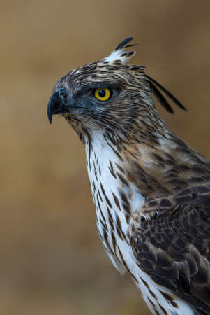 Changeable Hawk-eagle - Spizaetus cirrhatus, beautiful large bird of prey from Sri Lankan woodlands. 免版税图像
