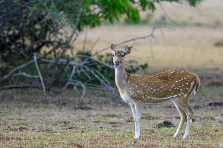 Chital - Axis axis, beautiful deer from Sri Lankan grasslands, bushes and forests.