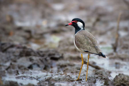 Red-wattled Lapwing - Vanellus indicus, large colored plover from Asian swamps and fresh waters, Sri Lanka. 免版税图像