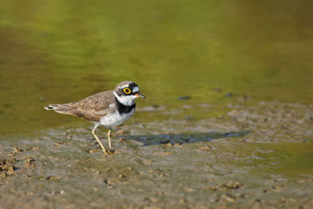 Little Ringed Plover - Charadrius dubius, beautiful small plover from Worldwide fresh waters, Sri Lanka.