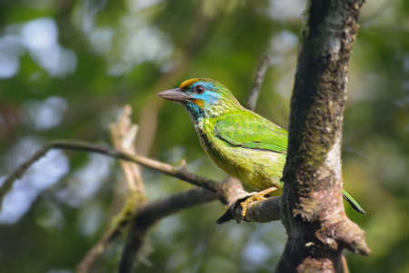 Yellow-fronted barbet - Psilopogon flavifrons, beautiful colored barbet from Sinharaja forest of Sri Lanka. 免版税图像