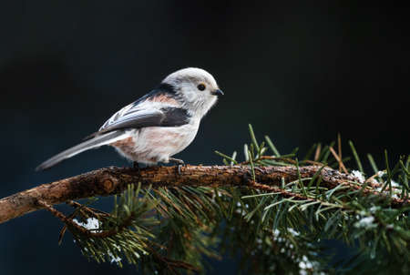 Long-tailed Tit - Aegithalos caudatus, beautiful perching bird from European forests and gardens, Zlin, Czech Republic.