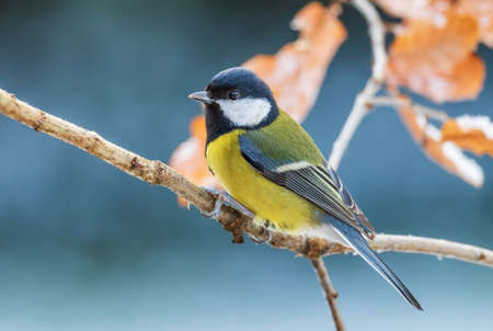 Great Tit - Parus major, common tit from European gardens and forests, Czech Republic. 免版税图像