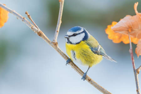 Blue Tit - Parus caeruleus, beautiful colored perching bird from European forests and gardens, Czech Republic.