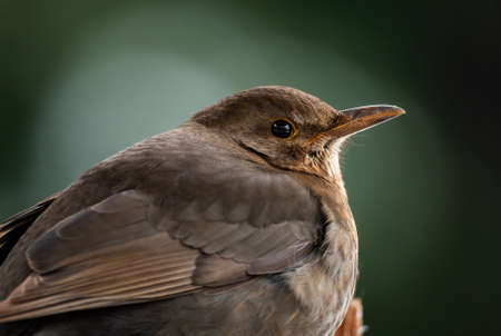 Eurasian Blackbird - Turdus merula, common blackbird from European gardens and forests, Zlin, Czech Republic.
