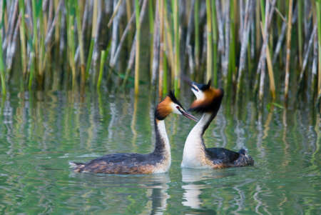Great Crested Grebe - Podiceps cristatus, beautiful popular water bird from European lakes and fresh waters, Zuger see, Switzerland. 免版税图像