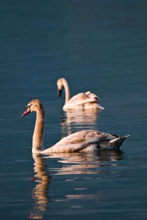 Mallard duck - Anas platyrhynchos, common water bird from European rivers and lakes, Zug, Switzerland. Imagens