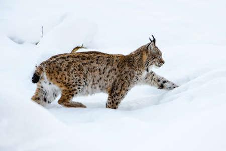 Eurasian Lynx - Lynx lynx, portrait of beautiful shy cat from European forests, Switzerland. Imagens
