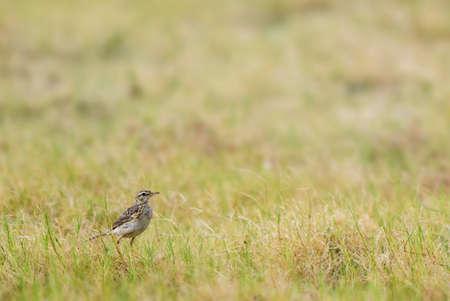 Paddyfield Pipit - Anthus rufulus, small ground perching bird from Sri Lanka grasslands and fields. Imagens