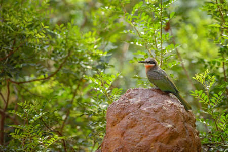 White-fronted Bee-eater - Merops bullockoides, beautiful colored bird from African savannas and bushes, Namibia. Imagens