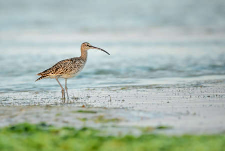 Eurasian Curlew - Numenius arquata, large wader with special bill from worldwide swamps, meadows and marsches, Zanzibar, Tanzania.