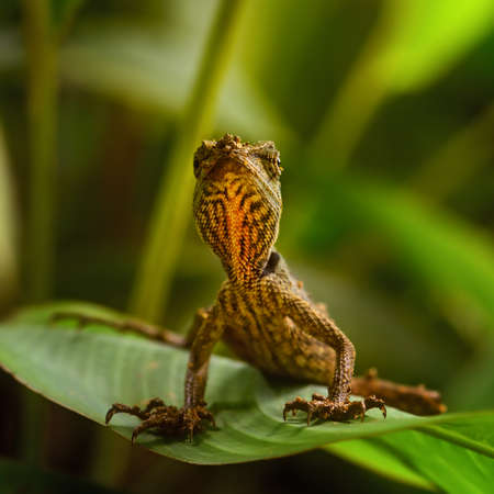 Emma Gray's Forest Lizard - Calotes emma, beautiful colored lizard from Southeast Asian forests, Thailand. Imagens