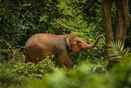 Asian Elephant - Elephas maximus, young asian elephant, iconic mammal from Asia, Thailand. Imagens