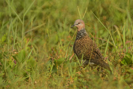 Spotted Dove - Spilopelia chinensis, common beautiful dove from Southeast Asian forests and gardens, Thailand.