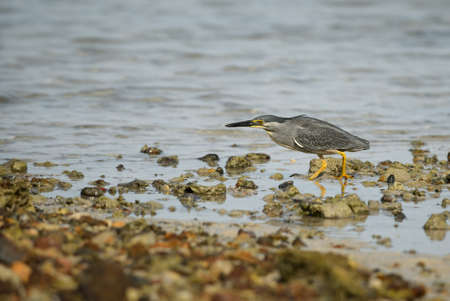 Striated Heron - Butorides striatus, beautiful, small, shy heron from Asian lakes and fresh waters, Thailand. Imagens