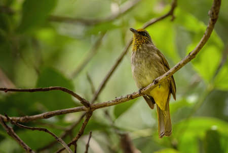 Stripe-throated Bulbul - Pycnonotus finlaysoni, beautiful shy perching bird from Asian forests and woodlands, Thailand. Imagens