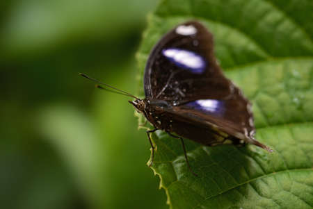 Common Eggfly - Hypolimnas bolina, beautiful colored butterfly from Asian and Australian  bushes and forests, Thailand.