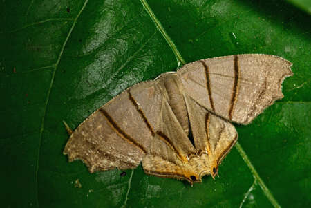 Asian moth - Orudiza protheclaria, beautiful brown moth with dark stripes from Asian forests and woodlands, Thailand.