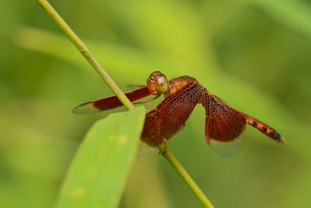 Red Grasshawk - Neurothemis fluctuans, beautiful red dragonfly from Asian fresh waters and marshes, Thailand.