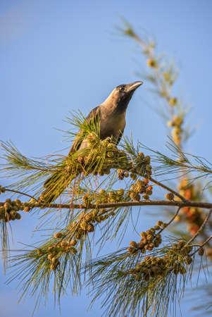 House Crow - Corvus splendens, common black crow from Asian forests and woodlands, Zanzibar, Tanzania.