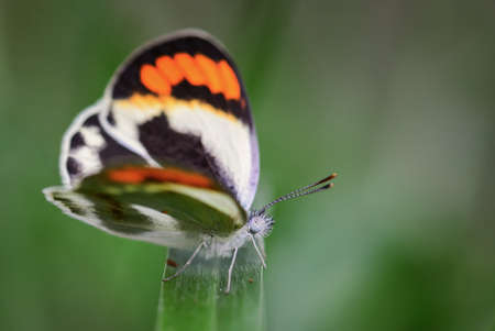 Smoky orange tip butterfly on the green leaves