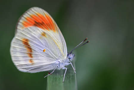Smoky orange tip butterfly on the steam