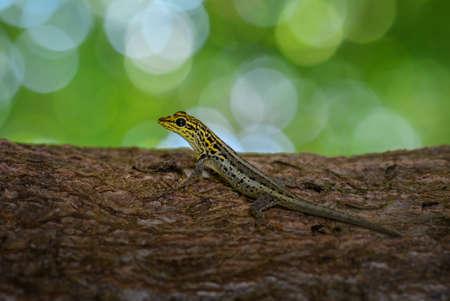 Dwarf yellow-headed gecko on the tree branch