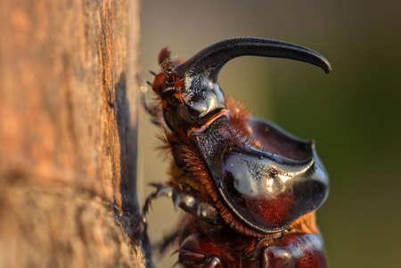 A large beautiful scarab beetle Imagens