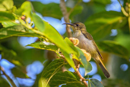 Variable Sunbird - Cinnyris venustus, beautiful small perching bird from African gardens and woodlands, Zanzibar, Tanzania.