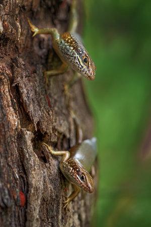 Speckle-lipped Skink - Mabuya maculilabris, beautiful common lizard from African woodlands and gardens, Zanzibar, Tanzania.