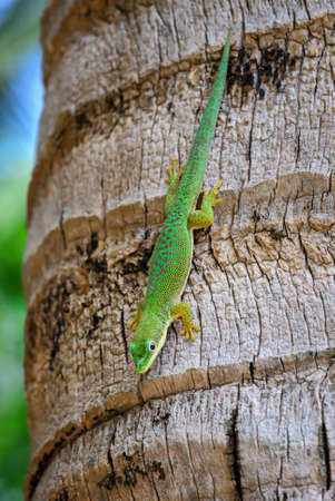 Zanzibar day gecko - Phelsuma dubia, beautiful green lizard from African woodlands and gardens, Zanzibar, Tanzania.