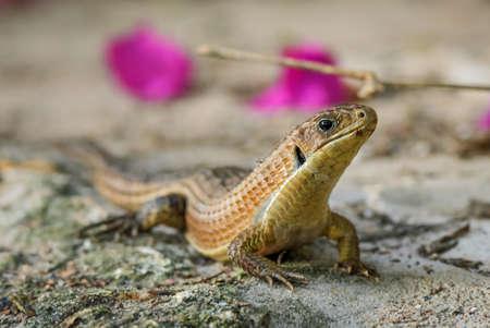 The Sudan plated lizard - Broadleysaurus major, large shy lizard from African woodlands and gardens, Zanzibar, Tanzania.