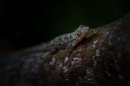 Afro-american House Gecko - Hemidactylus mabouia, beautiful common lizard from African houses, woodlands and gardens, Zanzibar, Tanzania. Imagens