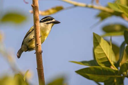 Yellow-rumped Tinkerbird - Pogoniulus bilineatus, beatiful colored bird from African forests and woodlands, Zanzibar, Tanzania.