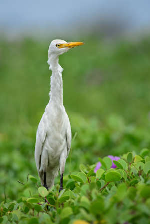 Cattle Egret - Bubulcus ibis, beautiful common white egret from worldwide marshes and grasslands, Sri Lanka.