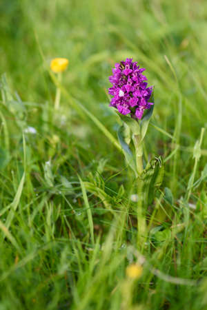 Northern Marsh-orchid - Dactylorhiza purpurella, beautiful colored orchid from North European meadows and marshes, Shetlands, Scotland, United Kingdome.