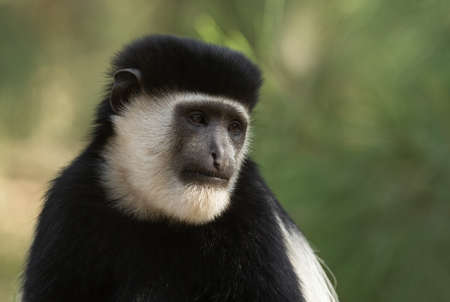 Black-and-white Colobus - Colobus guereza, beautiful black and white primate from African forests and woodlands, Harenna forest, Ethiopia. Stock Photo