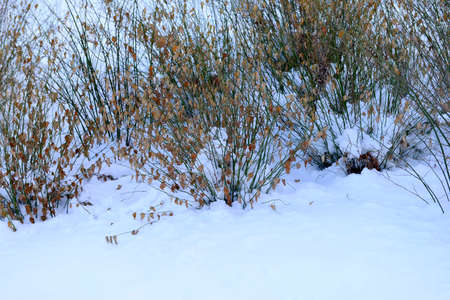 endogenous: Park endogenous long plants in winter snow Stock Photo