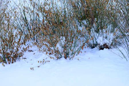 Park endogenous long plants in winter snow Stock Photo