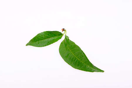 The green leaves on the white background, close-up Stock Photo