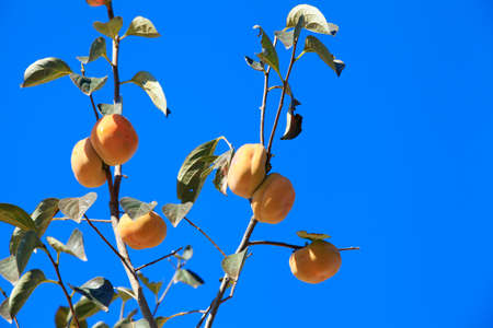 persimmon tree: Ripe persimmon on the tree branches